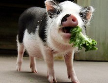 pot belly pet pig